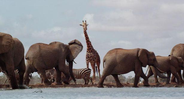 メスのアフリカゾウだけで構成される群れを追ったドキュメンタリー『ゾウの女王:偉大な母の物語』(19)